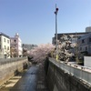 神田川「栄橋」付近の桜。。。