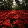 見渡す限りの赤い花!巾着田で彼岸花の撮影をしてきました!!