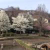 町田薬師池公園の花 (3月17日撮影)