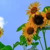 青空 向日葵