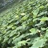 蓮の季節 タイ湖で開花