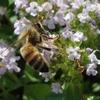 イブキジャコウソウの蜜蜂と