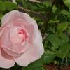 【バラ】ナエマをかなり深めに剪定した結果【6月】