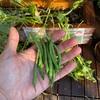 【100均日記】ダイソーで買った種から育てたインゲンを収穫!