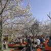 京都・円山公園の花見は楽しい。