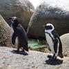 ボルダーズビーチでケープペンギンと対面④