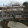【桜が開花】花粉症はツライよ。。。【だけど降雪】
