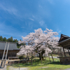 樹齢420年超:明日の大桜