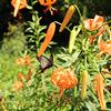 オニユリとクロアゲハ Lilium lancifolium