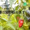 伊勢ピーマンは3種の実が収穫できる⁉