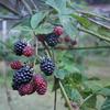 ブラックベリーの季節