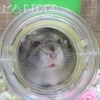 【YouTube 投稿】ハムスター🐹発泡ビーズのお風呂でバシャバシャ♪可愛いあくびも!お部屋カラフル改造計画Part.2 #44