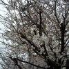 今日の桜ポインツ2015