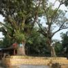 ネパ-ルの樹木と花 第32回目
