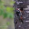 巣穴掘り中のアカゲラ