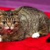 【エムPの昨日夢叶(ゆめかな)】第1212回『「永遠の仔猫・リルバブ」の遺伝子解析で動物医療が進化する夢叶なのだ!?』[6月13日]