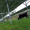 ソーラーシェアリング(繁殖牛)