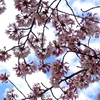 2021年「桜」をチラ見しに亀城公園へ行った。意外と桜は少ないが、お城址とよく映える