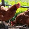 光を制する者は養鶏を制す