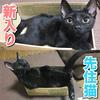 黒猫コンビの【新入り子猫すみ】と【先住猫なぎ】が小さい箱に入る(^-^)