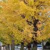 銀杏の街路樹 2016 11月