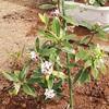 沈丁花を地植えしました