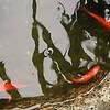 庭池の金魚たち