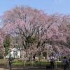 【Cherry blossoms】TOKYO. Rikugien 六義園 しだれ桜 🌸