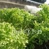レンタル畑で野菜作り スプリングほうれん草の種蒔き