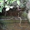 浜松城公園の日本庭園の池を泳いでいた縞蛇