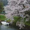 鵜川山田川の桜