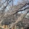 地元の桜と夜桜2016年