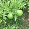 酢橘(すだち)・・・今年は豊作でした