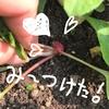 Ayatoの家庭菜園記録★ラディッシュみーっけ♪
