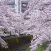 乞田川の桜並木