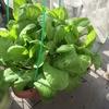 ベランダ菜園 プランターで育てた小松菜の成長記録~種植から収穫まで~