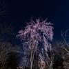 京都・北野 - 平野神社の江戸彼岸枝垂れ桜