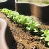 【家庭菜園part3】初めての間引き