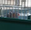 新型コロナウイルスと小鳥(キンカチョウ)