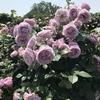 バラ栽培講座(13) 新苗の育て方 大苗との違いは?