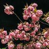 平成最後の日に倶利伽羅不動寺に八重桜のライトアップを見に行ったら笑撃だった