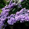 今週の一枚・名残の紫陽花