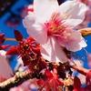 早春の熱海を散策。日本で最も早咲きのあたみ桜も満開。電車の旅ならではののんびり気分