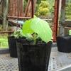 大豆を種から植えて15日の生育状況