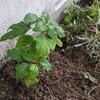 アナベルの定植と冬野菜の仕込み