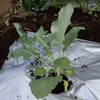 秋冬野菜の定植①ブロッコリーやカリフラワー他