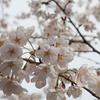 少し変えるだけで見違える、桜の撮り方