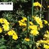 庭に咲いた野菊