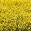 #035 菜の花