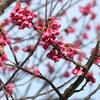 南国石垣島で、桜を見に出かよう!【寒緋桜2月中旬が見頃です♪】